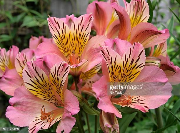 peruvian lily (alstroemeria aurea) - alstroemeria stock pictures, royalty-free photos & images