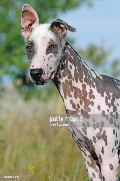 Peruvian naked dog, Perro sin pelo del Peru, dog