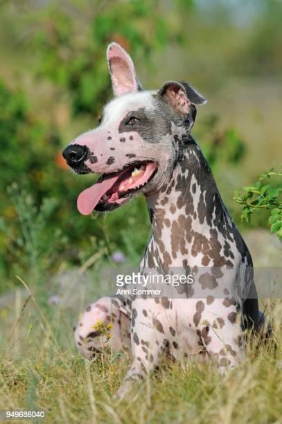 Peruvian naked dog, Perro sin pelo del Peru, male, sitting in the grass