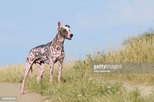 Peruvian naked dog, Perro sin pelo del Peru, male, standing at the edge of the meadow