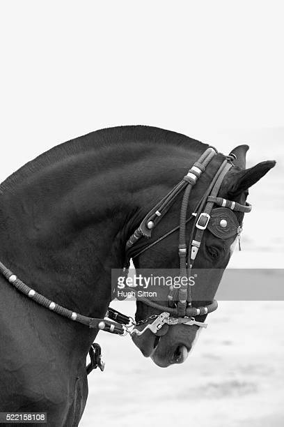 peruvian paso horse - hugh sitton 個照片及圖片檔