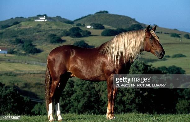 Peruvian Paso or Peruvian Horse Equidae