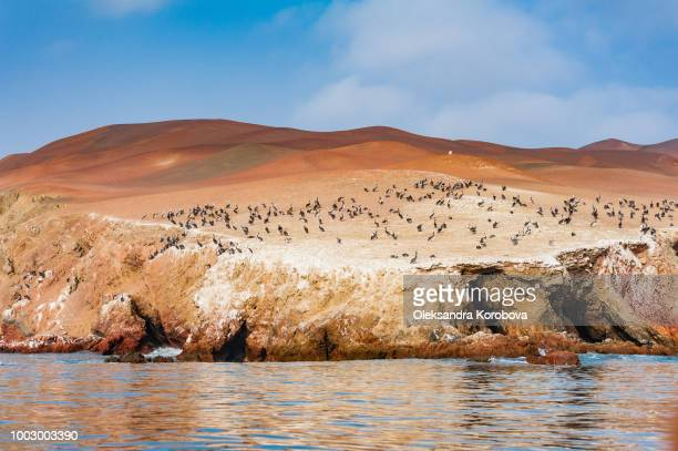 Peruvian pelicans nesting along the red cliffs of the northern face of Paracas Peninsula at Pisco Bay in Peru.