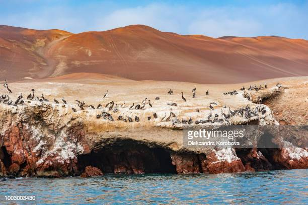 peruvian pelicans nesting along the red cliffs of the northern face of paracas peninsula at pisco bay in peru. - pisco peru stock photos and pictures