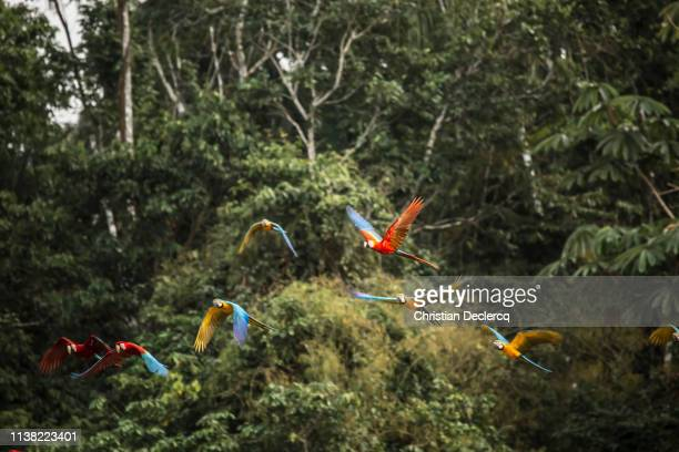peruvian rainforest - madre de dios - peru - scarlet macaw stock pictures, royalty-free photos & images