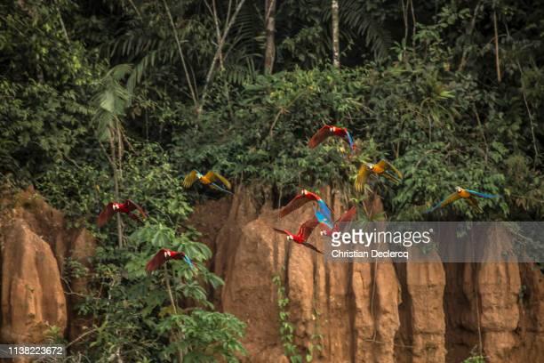 peruvian rainforest - madre de dios - peru - temas de animais imagens e fotografias de stock