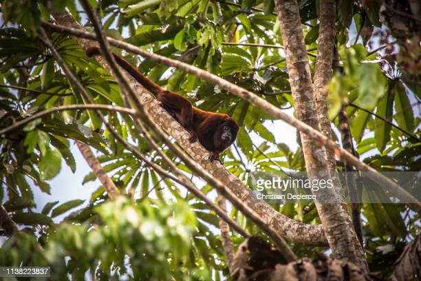peruvian rainforest - madre de dios - peru - giant otter stock pictures, royalty-free photos & images