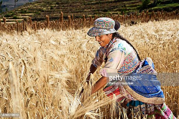 Peruvian woman in national clothing harvesting rye, Colca Canyon
