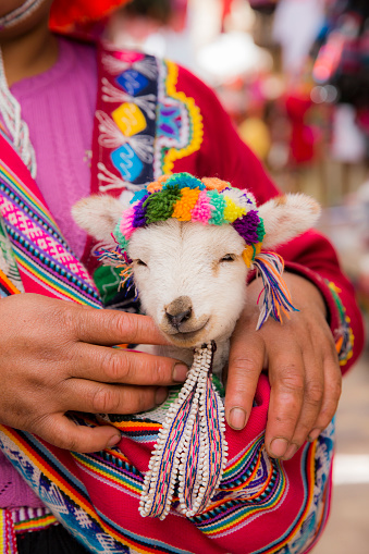 Peruvian woman in traditional clothes holding a baby llama 636877762