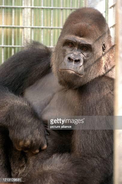 """Pesco, der 14-jährige Gorilla-Mann, aufgenommen am 7.10.1999 in seinem Käfig im Saarbrücker Zoo. Der """"Neue"""" aus dem holländischen Appeldorn soll nach..."""
