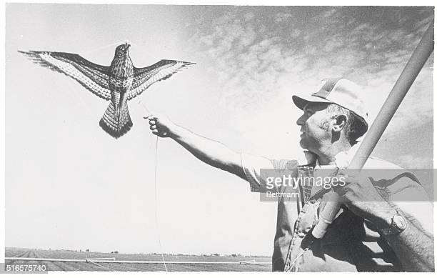 Pest Control by Kite Salinas Calif Vic Lanini a foreman at one of the lettuce farms in the region launches a hawkshaped kite as a deterrent to scare...