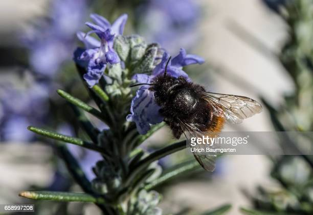 Pesticides frequently used in agriculture are largely responsible for the rapid extinction of bumblebees and bees The insects are increasingly in the...