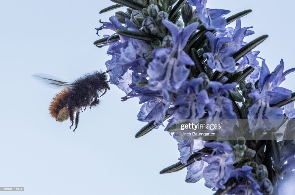 Bumblebee at food intake on a blossoming resemary twig. : News Photo
