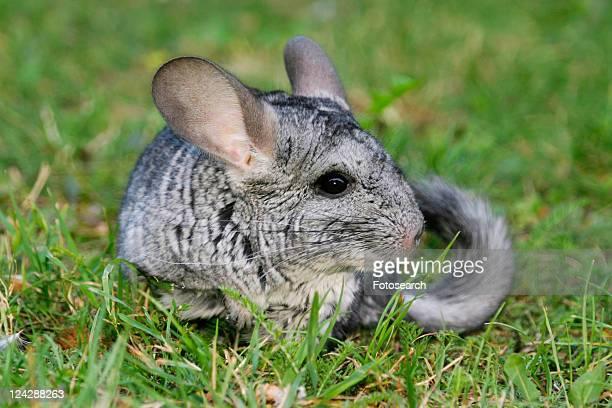 pet, alfred, animals, chinchilla, chinchillidae, day