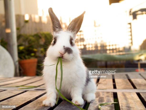 Pet baby rabbit eating grass