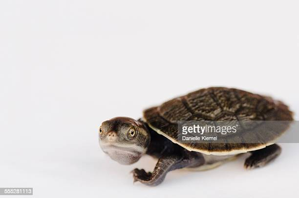Pet baby turtle, studio shot