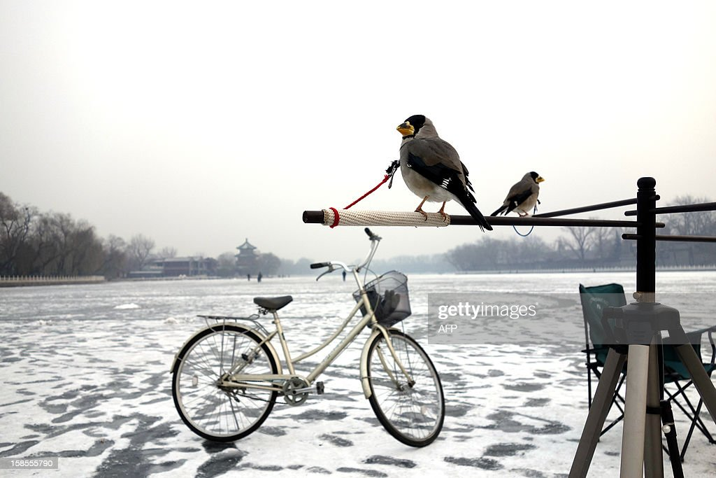 Pet birds stand tied to a tripod at a frozen lake in Beijing on December 19, 2012. China will allow transit passengers from 45 countries including the US, Canada and all members of the EU to spend up to 72 hours in Beijing without a visa from January 2013, city authorities said.