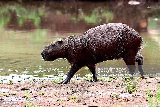 pet capybara