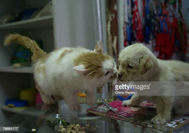 A pet cat plays with a stray dog that just has a shower in a pet shop February 9 2008 in Xuzhou of Jiangsu Province China The number of pets...