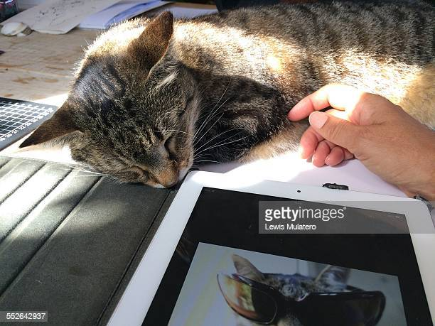 POV of pet cat Working or petting POV of my pet cat on my work table and my hand stroking his side The iPad has a photo of him wearing sunglasses