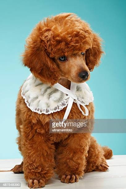 pet clothing  fashion for dogs  beautiful miniature poodle puppy - miniature poodle stock photos and pictures