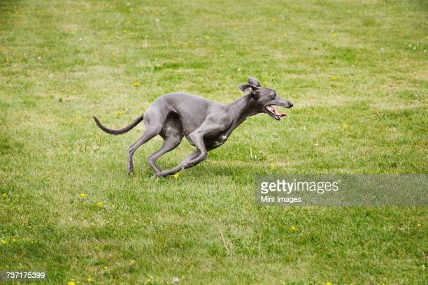a pet dog, a sleek grey greyhound running across a lawn twisting his sleek body.  - greyhound stock photos and pictures