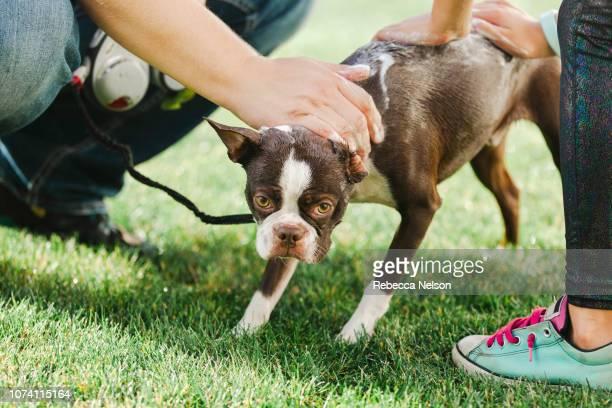 Pet dog being shampooed in garden