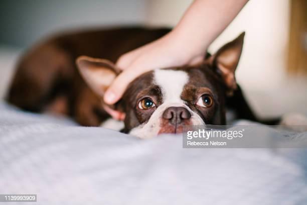 pet dog being stroked on bed - cariñoso fotografías e imágenes de stock