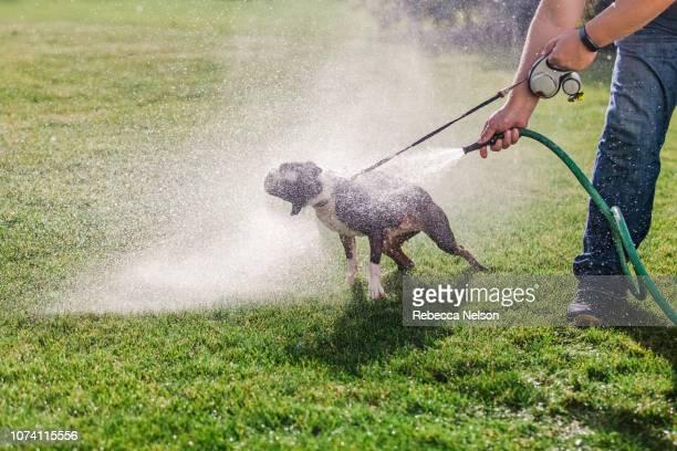 Pet dog being washed in garden