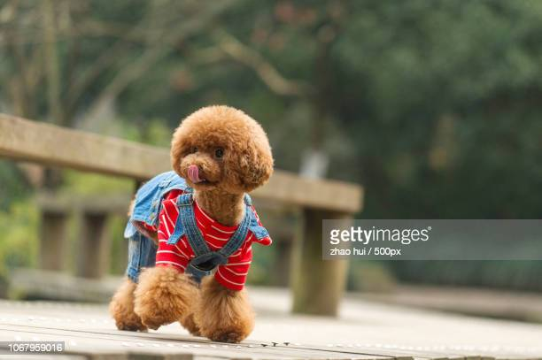 pet dog dressed up - pet clothing stock pictures, royalty-free photos & images