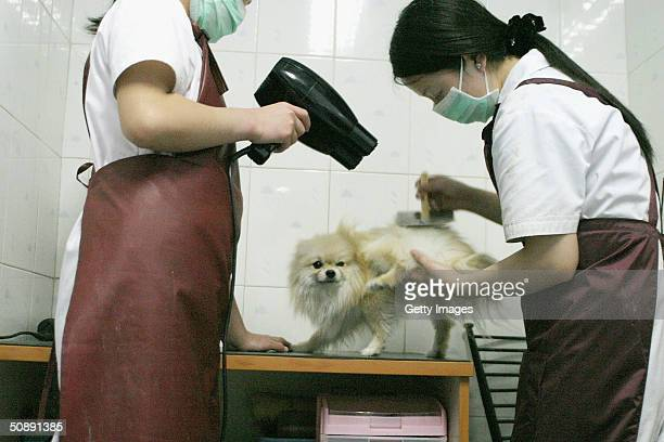 A pet dog gets a blow dry at a canine beauty parlour May 22 2004 in the Chinese capital Beijing The increase in pet ownership in urban China is a...