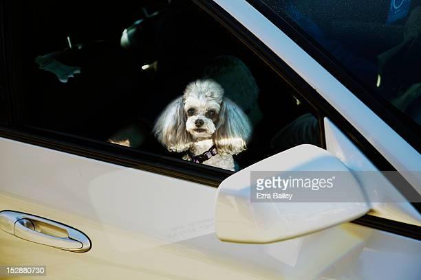 pet dog in a car