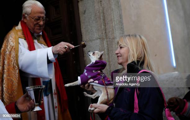 A pet dog is being blessed on Saint Anthony's day dedicated to the animals by Spanish Christians at San Anton Church in Madrid Spain on January 17...