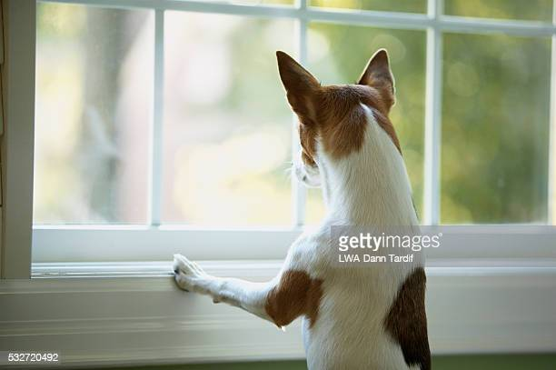 pet dog looking out of window - terrier stock pictures, royalty-free photos & images