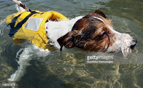 A pet dog Marine swim at Takeno Beach on July 28 2012 in Toyooka Japan This beach is especially open for dogs and their owners each summer between...
