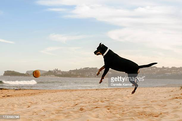 Pet dog on beach jumping after a toy