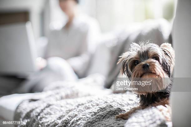 Pet dog on sofa, owner in background