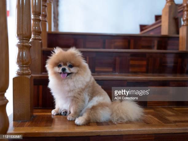 pet dog - pomeranian stock photos and pictures