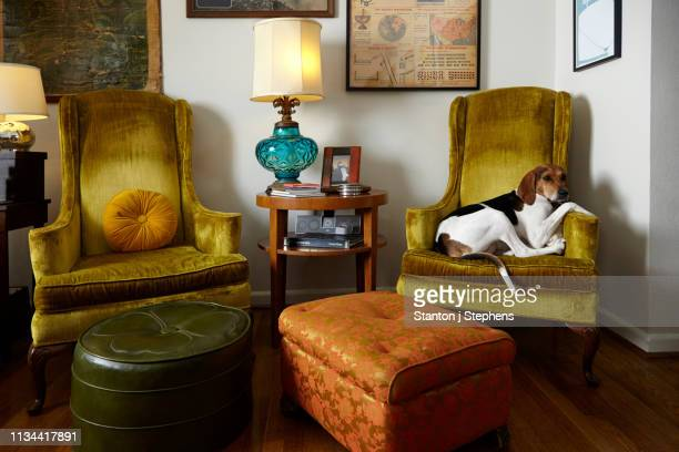 pet dog relaxing in armchair in living room - um animal - fotografias e filmes do acervo