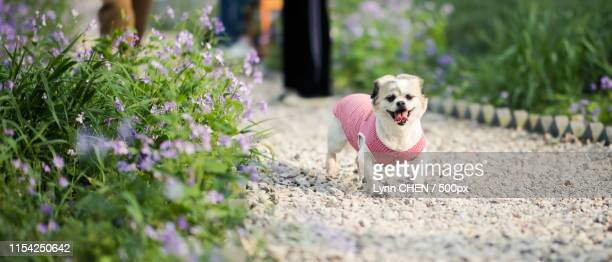 pet dog running - lynn pleasant stock pictures, royalty-free photos & images
