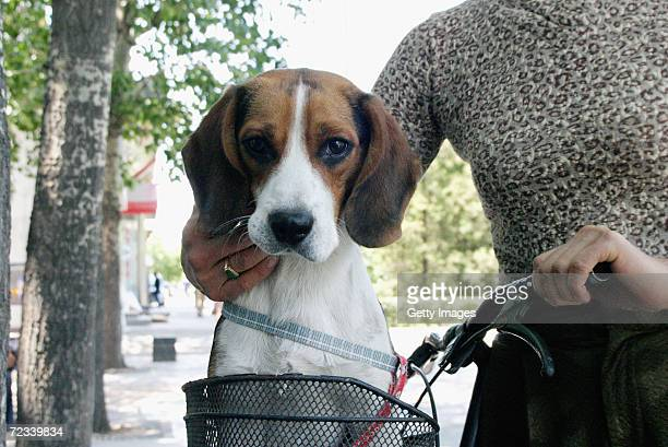 A pet dog sits in its owner's bicycle basket after getting a wash and brush up at a canine beauty parlour May 22 2004 in the Chinese capital Beijing...