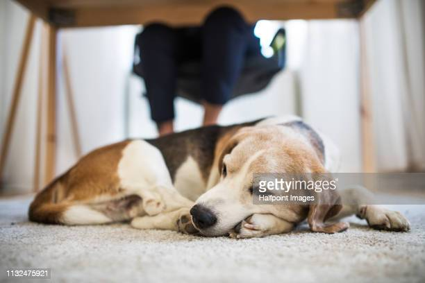 a pet dog sitting under the desk in home office. - grupo mediano de animales imagens e fotografias de stock