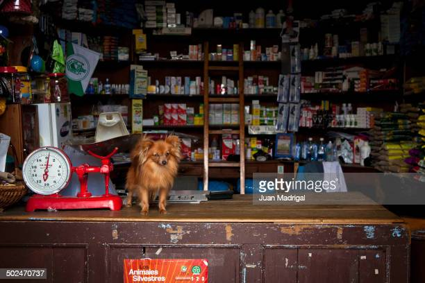 "Pet dog stands on the counter of a traditional corner store or ""Granero"" in El Retiro, Colombia"