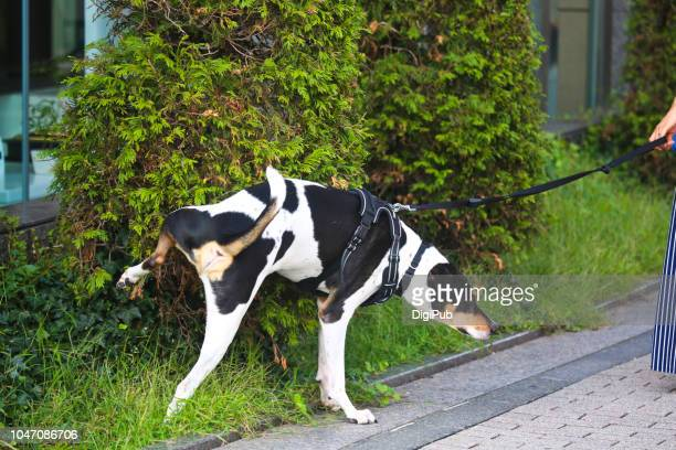 pet dog urinating against tree in the public park - urinating stock pictures, royalty-free photos & images