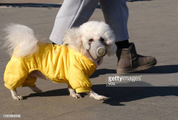 Pet dog wearing a special mask and clothing walks on street during the coronavirus epidemic on December 24, 2020 in Shenyang, Liaoning Province of...
