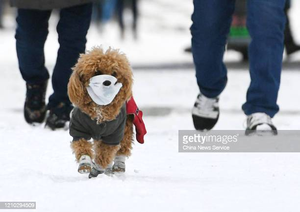 Pet dog wearing face mask walks with owner on snow amid novel coronavirus outbreak on March 4, 2020 in Changchun, Jilin Province of China.