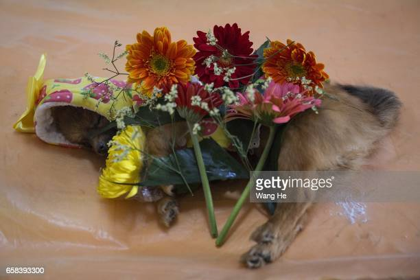 Pet dog Xiaoxiao who died at the age of 6 months at Wangzai pet cemetery on March 27 2017 in Wuhan Hubei province China with Pet owner pay one's last...