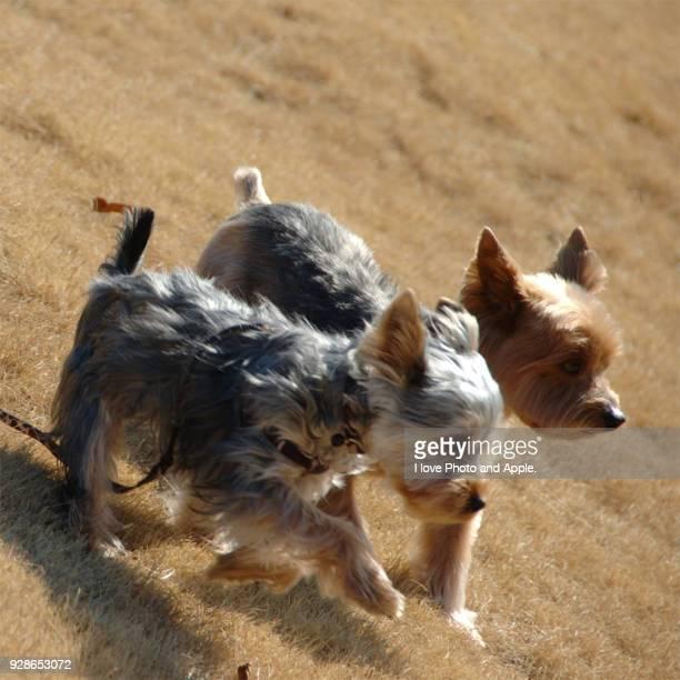 Pet dog Yorkshire Terrier