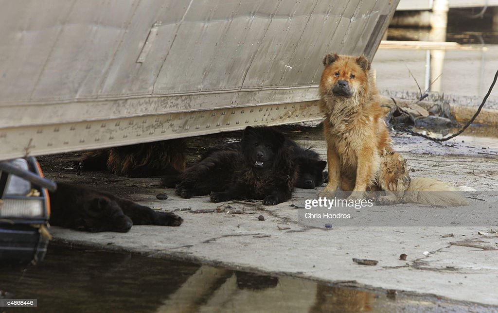 Pet dogs, some dead, others dying, lie listlessly under overturned truck and near a pool of contaminated water September 5, 2005 in an eastern poor neighborhood of New Orleans, Louisiana. Hurricane Katrina hit the area one week ago, on August 29th. Many house pets have been abandoned to live on their own among pools of chemical-tainted water.