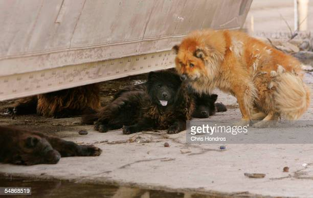 Pet dogs some dead others dying lie listlessly under overturned truck and near a pool of contaminated water September 5 2005 in an eastern poor...